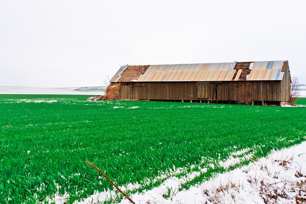 Barn in winter wheat field in Walla Walla, Washington.