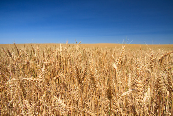 Walla Walla wheat in Washington state.