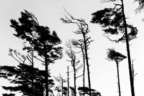 A line of trees along a bluff on the Washington coast.