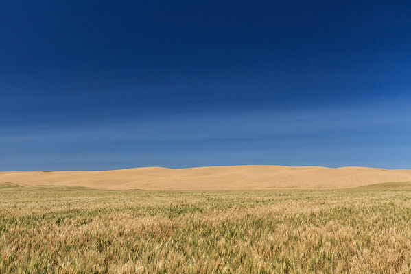 Wheat field in northern Walla Walla County, Washingon state.