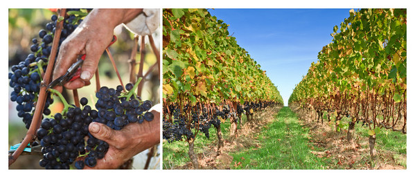 Unpicked and picked Pinot noir rows at Belle Pente Vineyards (Harvest 2010)